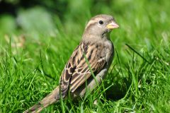 salina-calcara-trapani-fauna-passero_comune