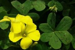 salina-calcara-trapani-flora-acetosella_gialla