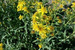 salina-calcara-trapani-flora-enula_bacicci