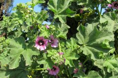 salina-calcara-trapani-flora-malvone_maggiore