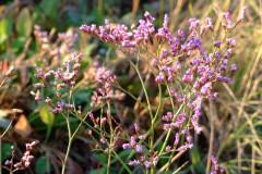 salina-calcara-trapani-flora-statice_comune