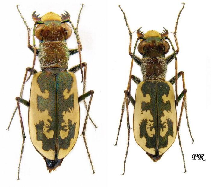 Salina Calcara di Trapani - Fauna - Cicindela circumdata