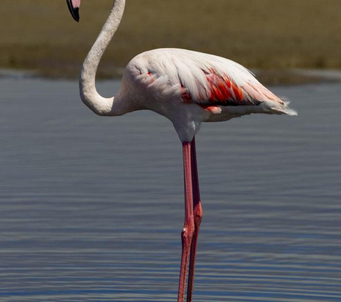 Salina Calcara di Trapani - Fauna - Fenicottero rosa