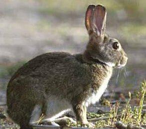 Salina Calcara di Trapani - Fauna - Coniglio selvatico